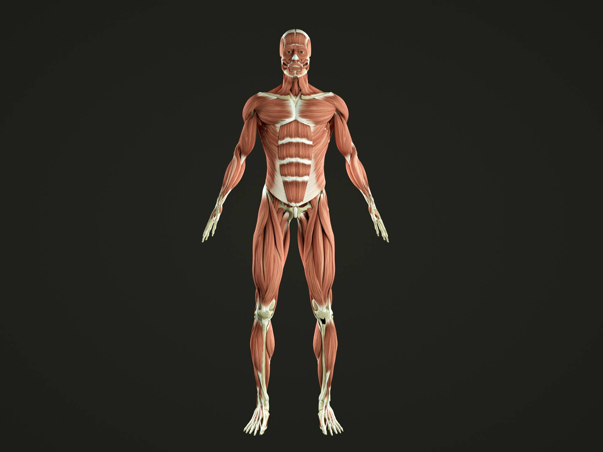 biggest muscles in the human body - HD1920×1440