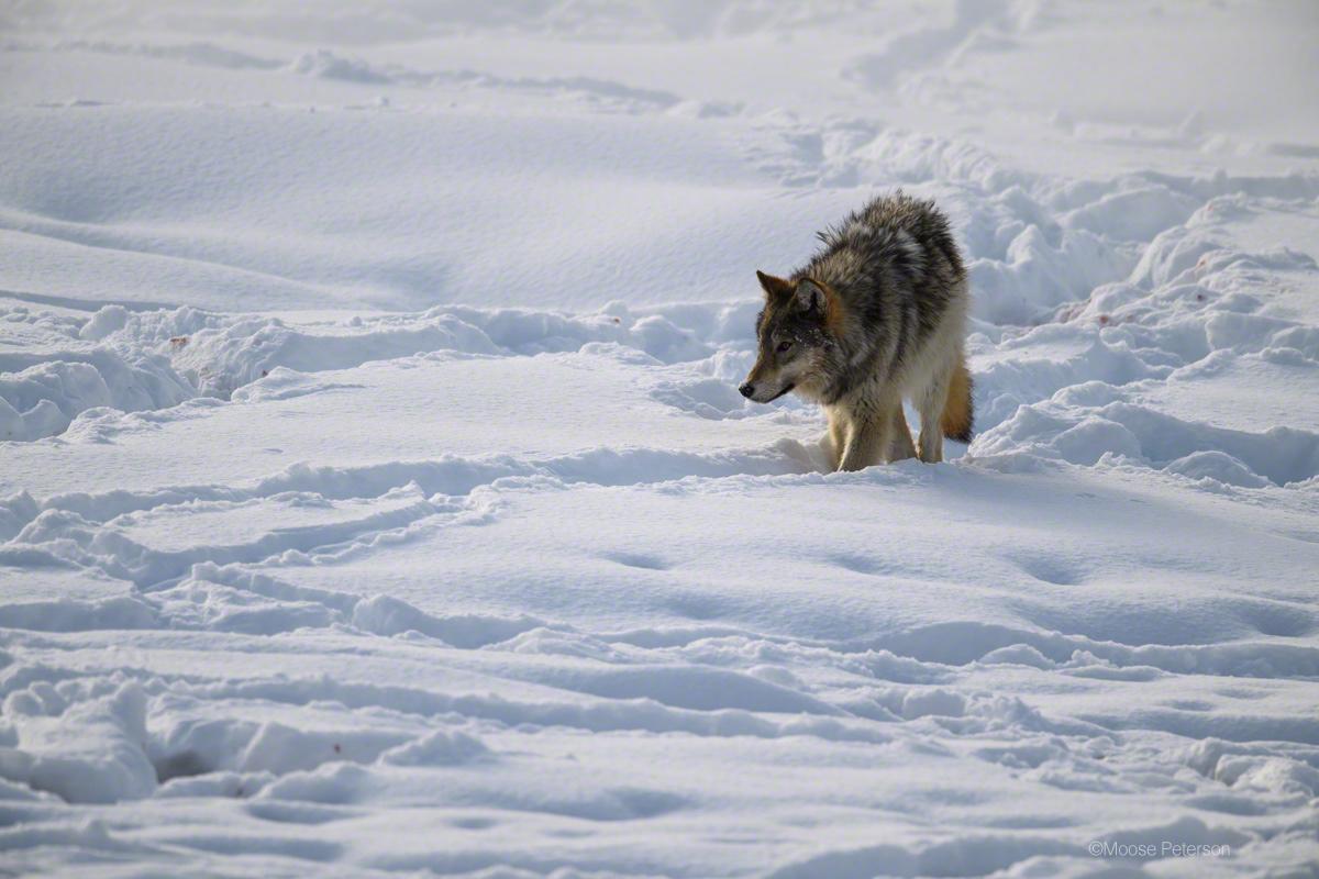 придания картинка как охотится волк зимой эскин автор сотен