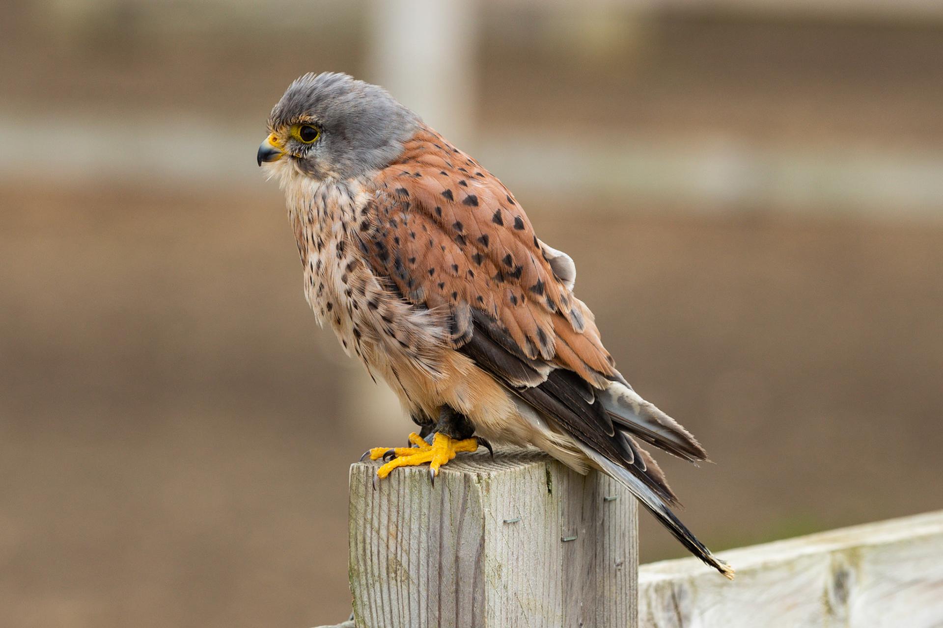 english school of falconry