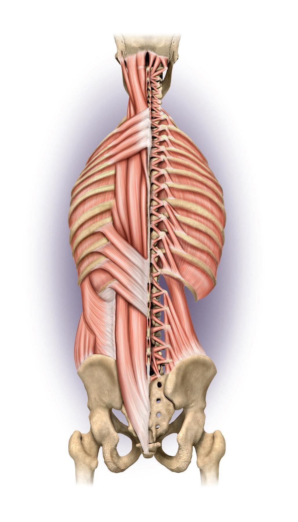 Medical Illustration | Certified Medical Illustrator - Anatomy