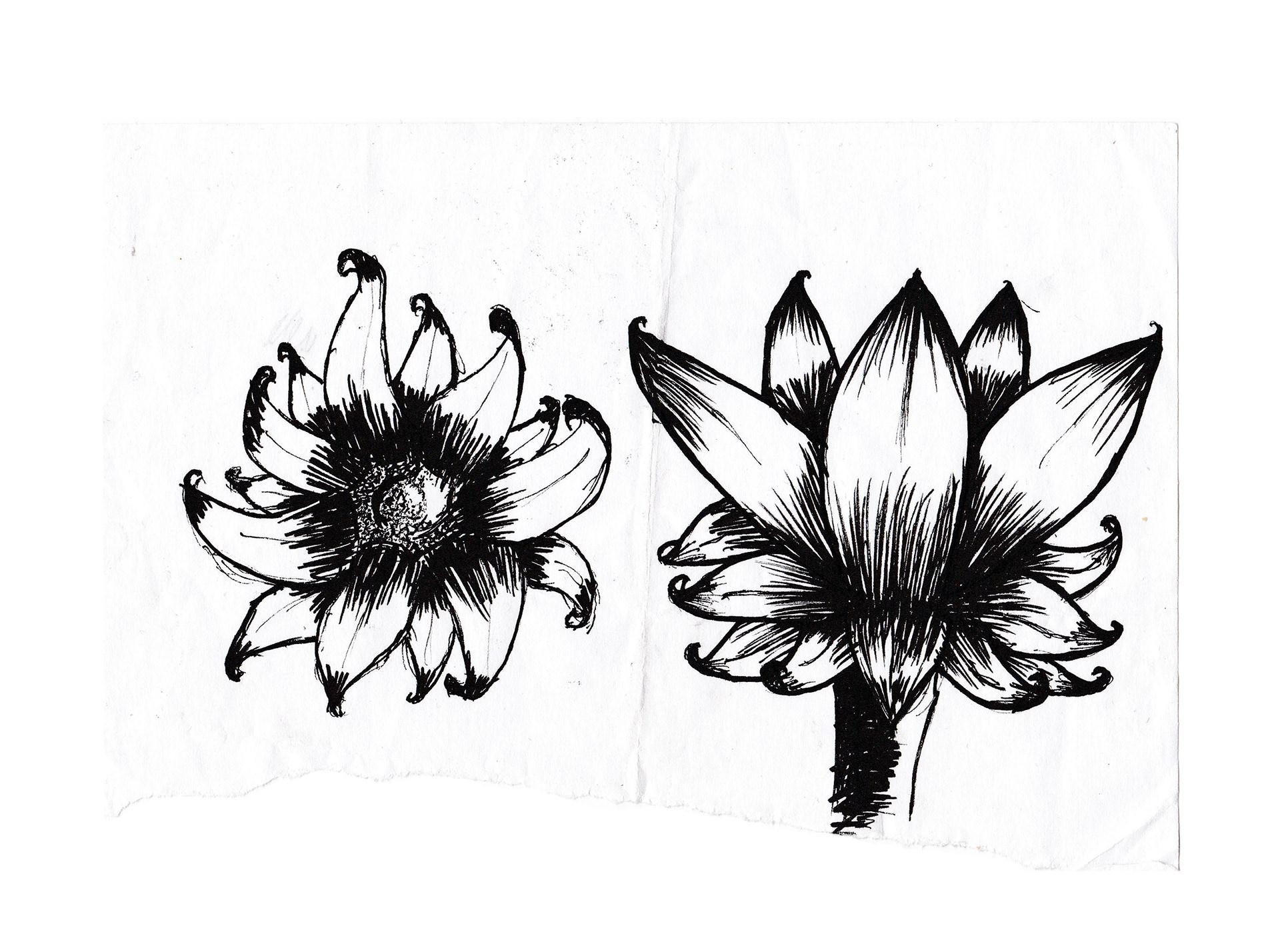 Sunflower Line Drawing : Chris england flower illustrations