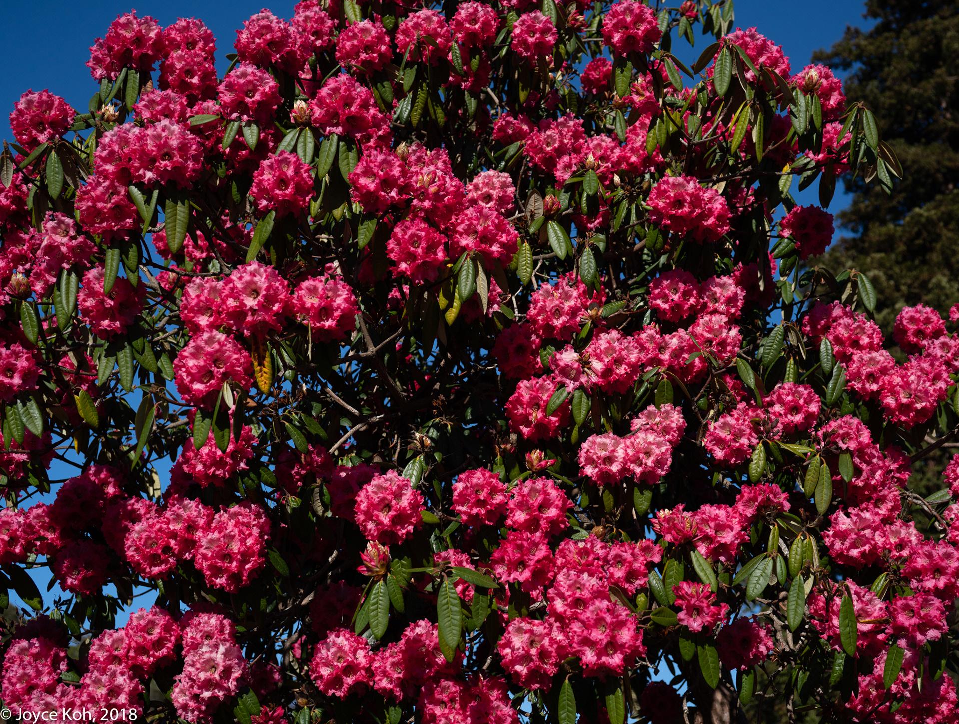 Dunedin New Zealand Photos Spring Flowers Ii